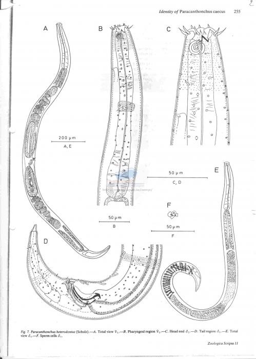 Paracanthonchus heterodontus