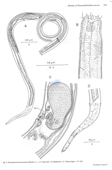 Paracanthonchus thaumasius