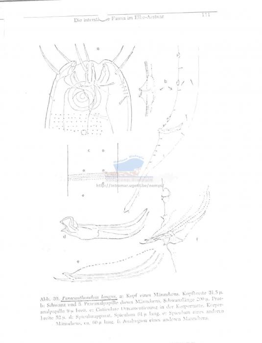 Paracanthonchus longus