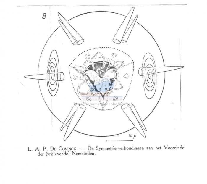 Paracanthonchus elongatus