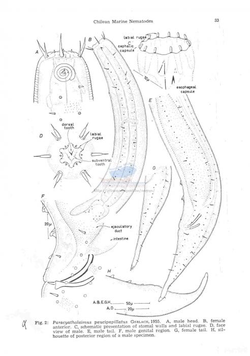 Paracyatholaimus paucipapillatus