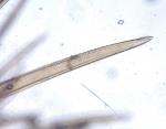 Gattyana cirrhosa (Pallas, 1766)
