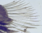 Harmothoe imbricata (Linnaeus, 1767)