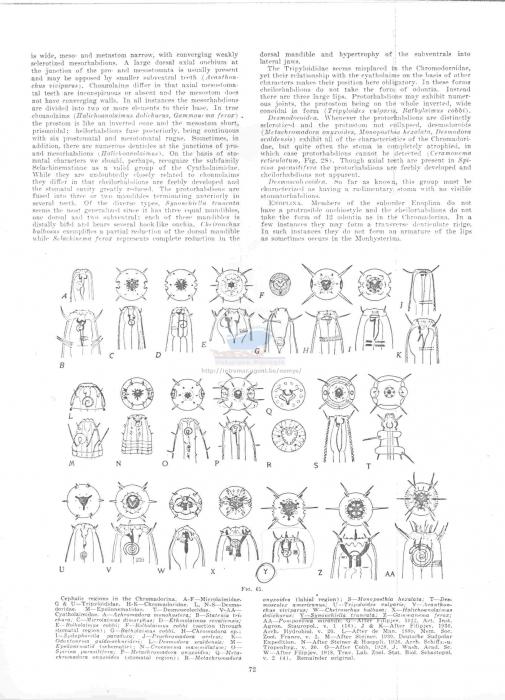 Synonchiella truncata
