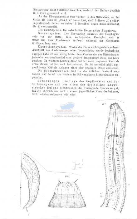 Acanthopharynx merostomacha