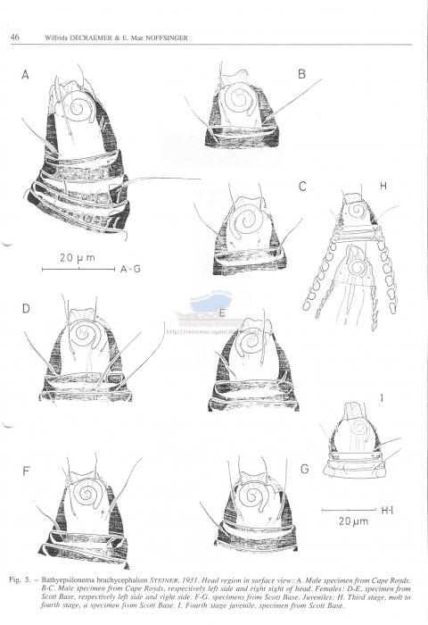 Bathyepsilonema brachycephalum