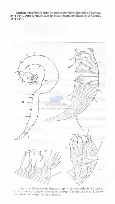 Dracognomus simplex