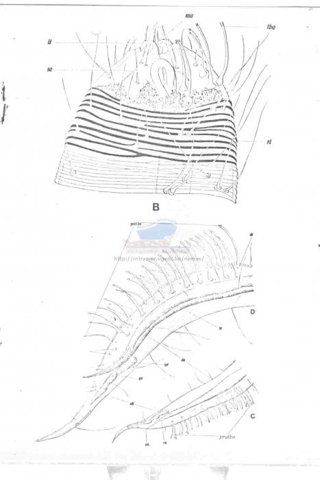 Draconema bandaensis