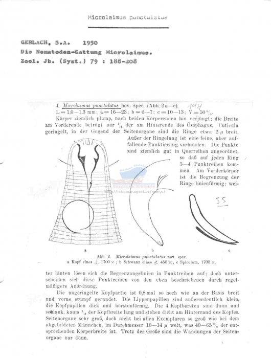 Microlaimus punctulatus