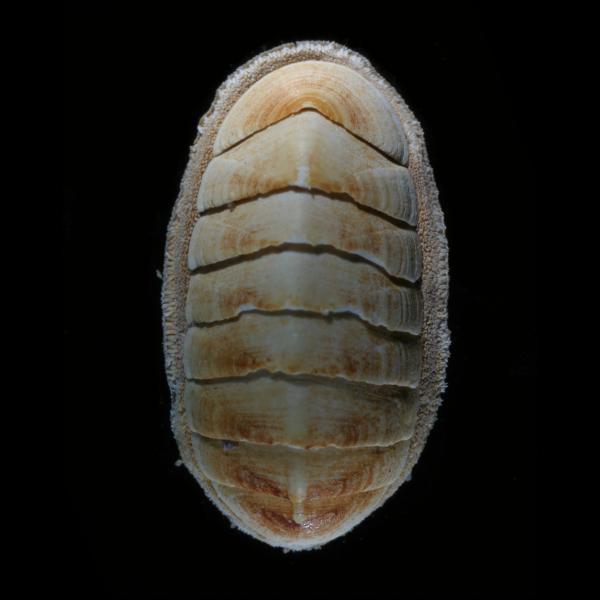 Ischnochiton albus