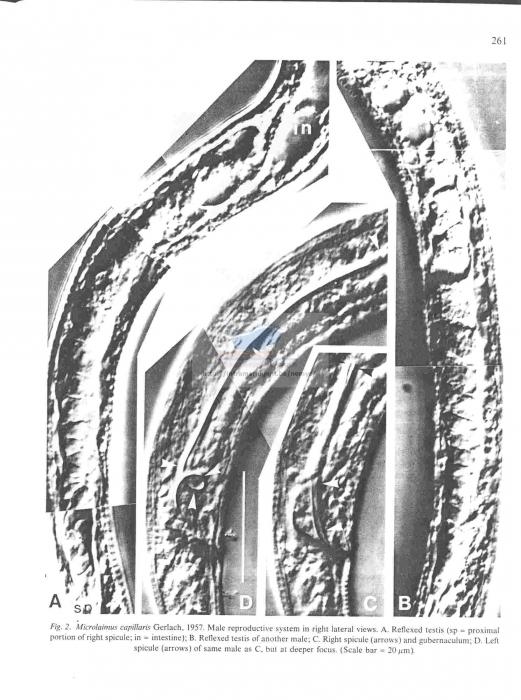 Microlaimus capillaris