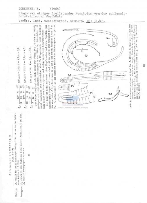 Antomicron pratense