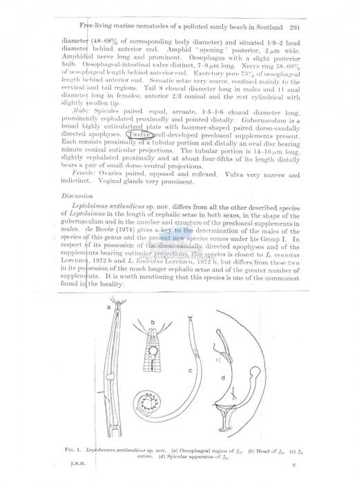 Leptolaimus scotlandicus