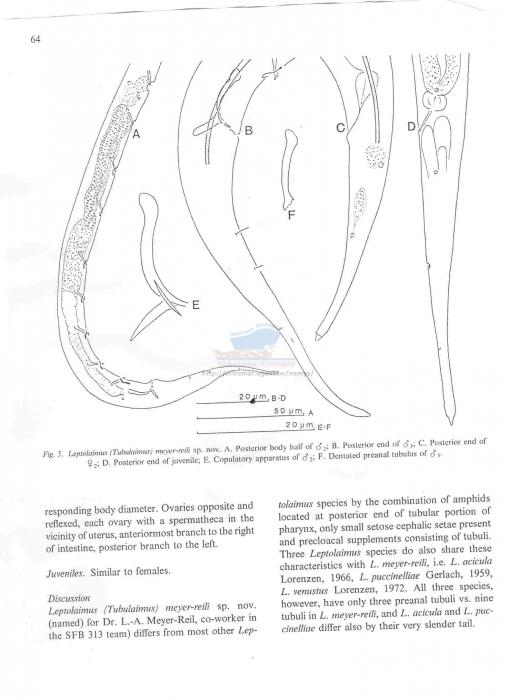 Leptolaimus meyer-reili