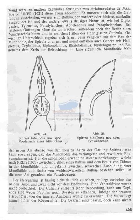 Haliplectus bibulbosus
