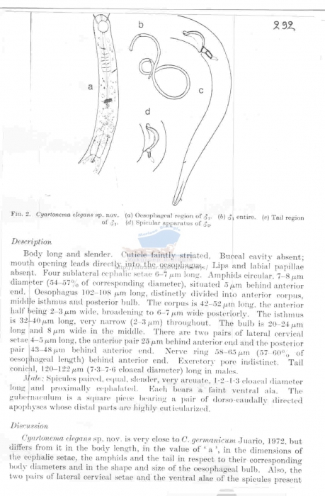 Cyartonema elegans