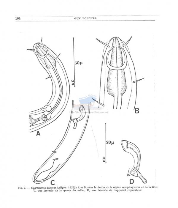 Cyartonema zosterae