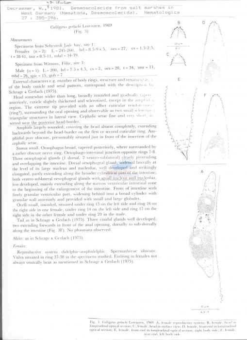 Calligyrus gerlachi