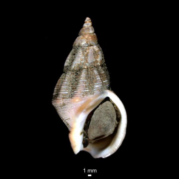 Buccinum glaciale