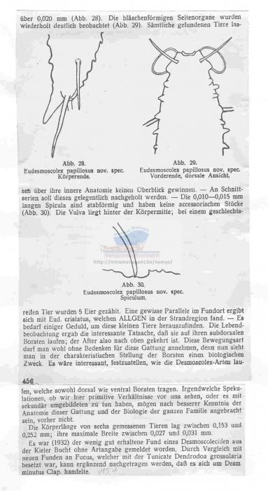 Desmoscolex (Pareudesmoscolex) papillosus