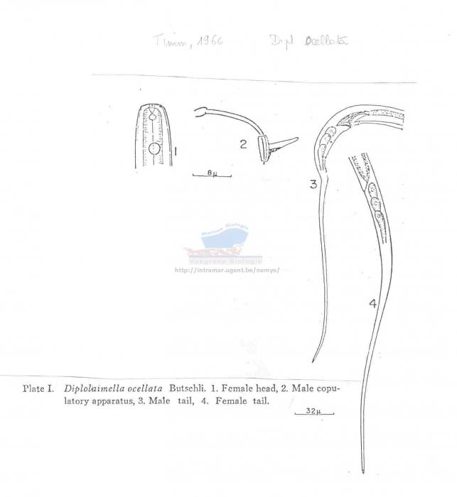 Diplolaimella ocellata