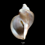 Volutopsius deformis