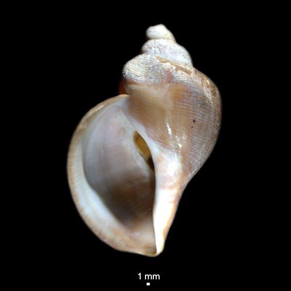 Volutopsius deformis