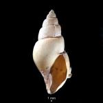 Volutomitra groenlandica