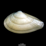 Nuculana pernula