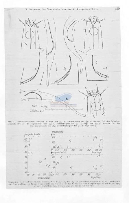 Metadesmolaimus varians