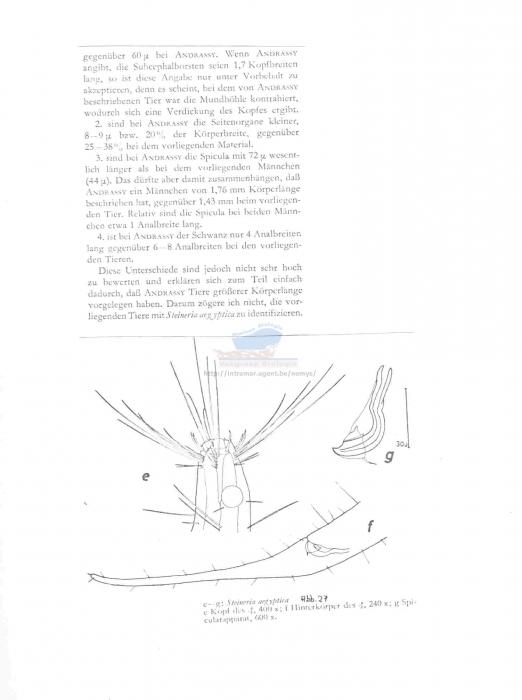 Steineria aegyptica