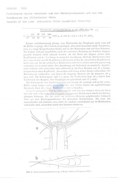 Steineria parapolychaeta