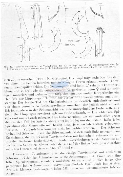 Theristus anisotrichus