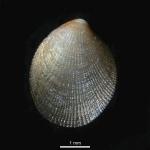 Crenella decussata