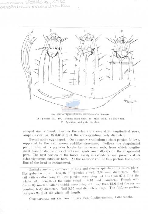 Sphaerolaimus macrocirculus