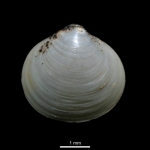 Diplodonta torelli