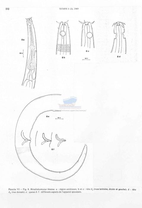 Metalinhomoeus biratus