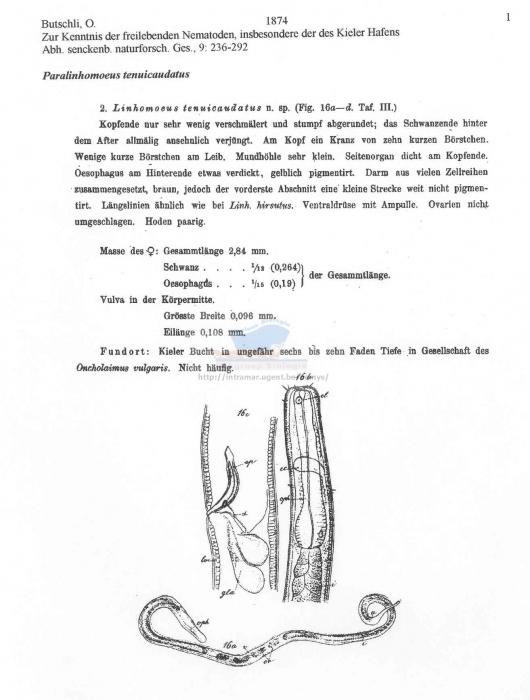 Paralinhomoeus tenuicaudatus