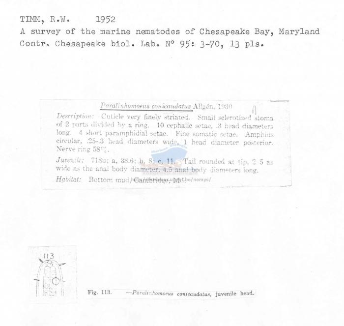 Paralinhomoeus conicaudatus