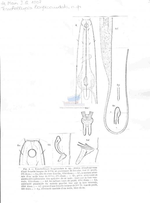 Terschellingia longicaudata