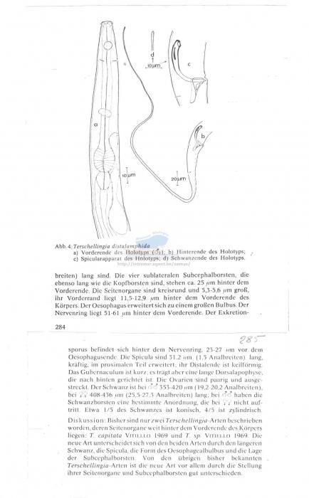 Terschellingia distalamphida