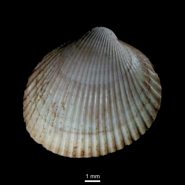 Ciliatocardium ciliatum