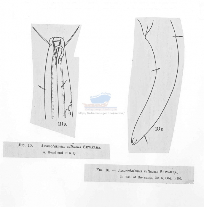 Axonolaimus villosus