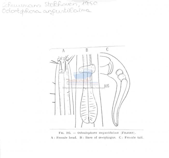 Odontophora parangustilaima