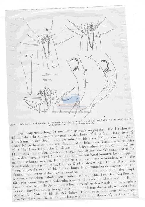 Odontophora phalarata