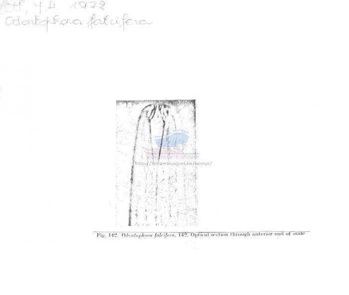 Odontophora falcifera