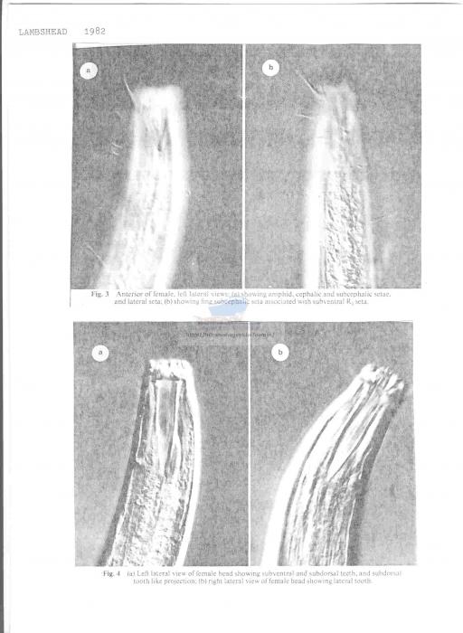 Odontophoroides paramonhystera
