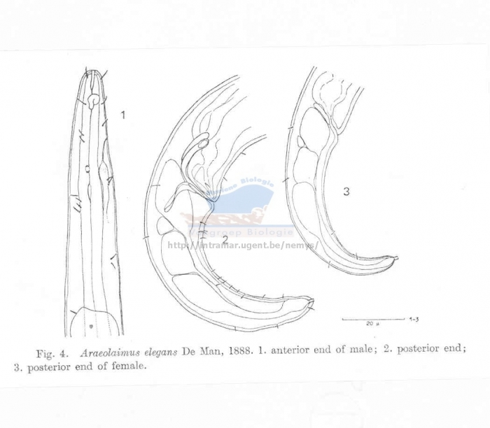 Araeolaimus elegans