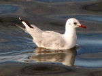 Brown-hooded Gull (Larus maculipennis)