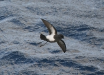 Black-bellied storm-petrel (Fregetta tropica) 